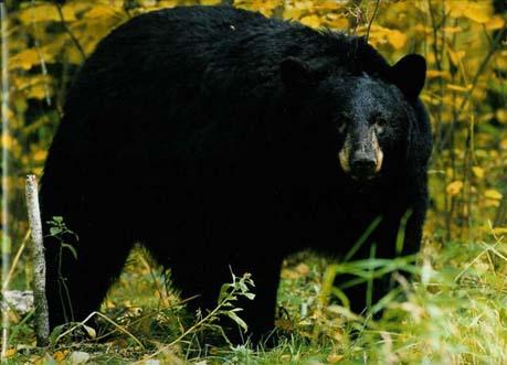 fly-in-black-bear-hunt