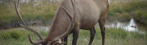 elk-hunting for begginers